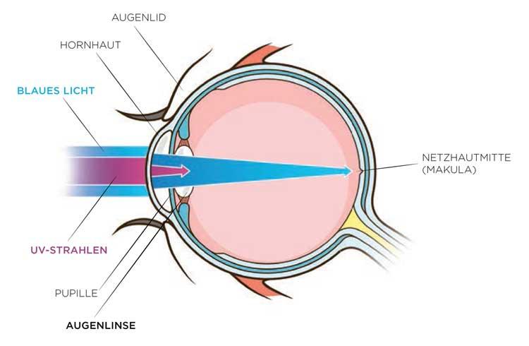 Der Weg von UV-Licht und blau-violettem Licht in das menschliche Auge